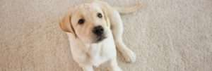 Pet Odors and Stains Removal Services   ProDry Floor Care